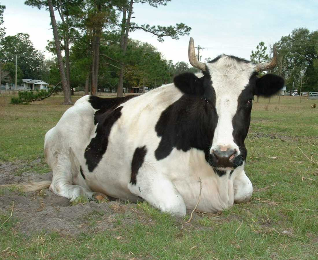 images of domestic animals cow - photo #41