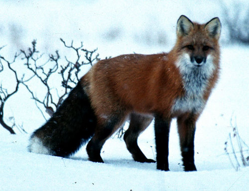 Animals wallpaper entitled Fox