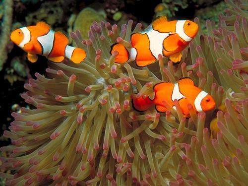Clown মাছ