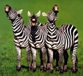 Trio - wild-animals photo