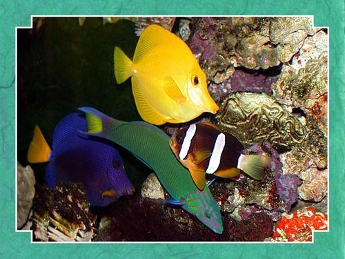 Tropical Fish Wallpaper - fish Wallpaper
