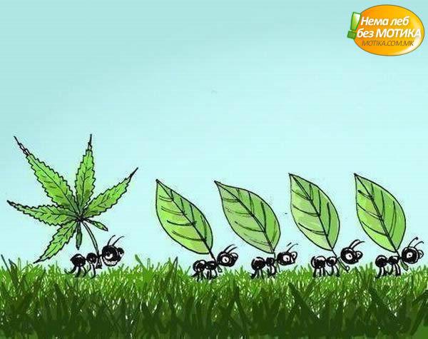 Marijuana marijuana ant