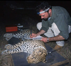 Illegal leopard poaching