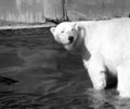 Polar Bear - photography photo
