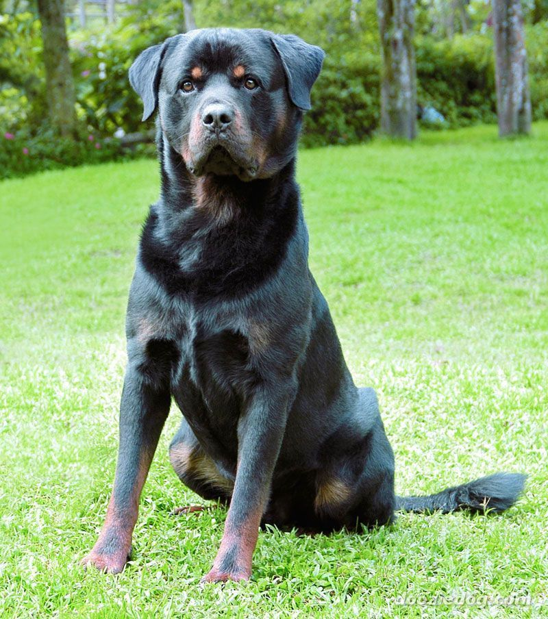 combined. rottweiler german shepherd mix puppies for sale in illinois