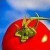 tomato, sos tomato