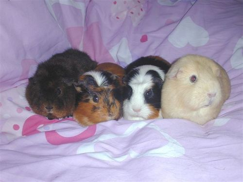Guinea Pigs वॉलपेपर entitled Piggies in a row