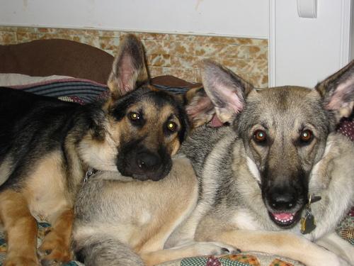 German Shepherds پیپر وال titled Axel & Niko