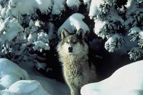 Grey serigala in snow