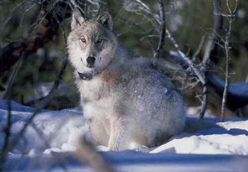 Playful serigala