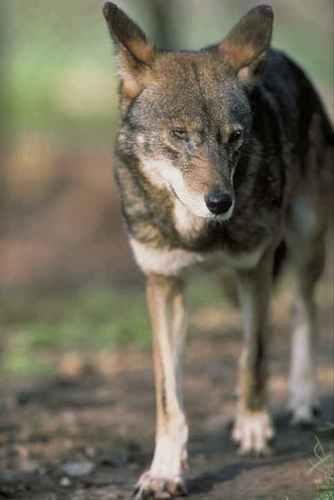 Red serigala