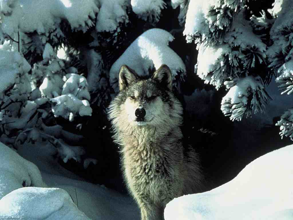 Wolves wolf in the winter