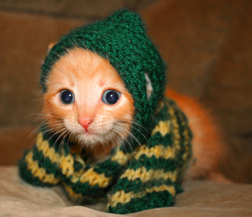 kitten in a sweater