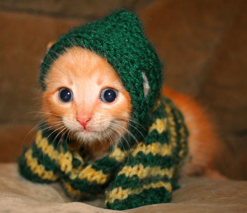 kitten in a sweater