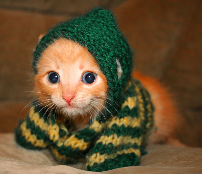 Kittens kitten in a sweater