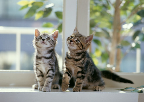Cats wallpaper with a tabby, a tabby, and a cat entitled Kittens