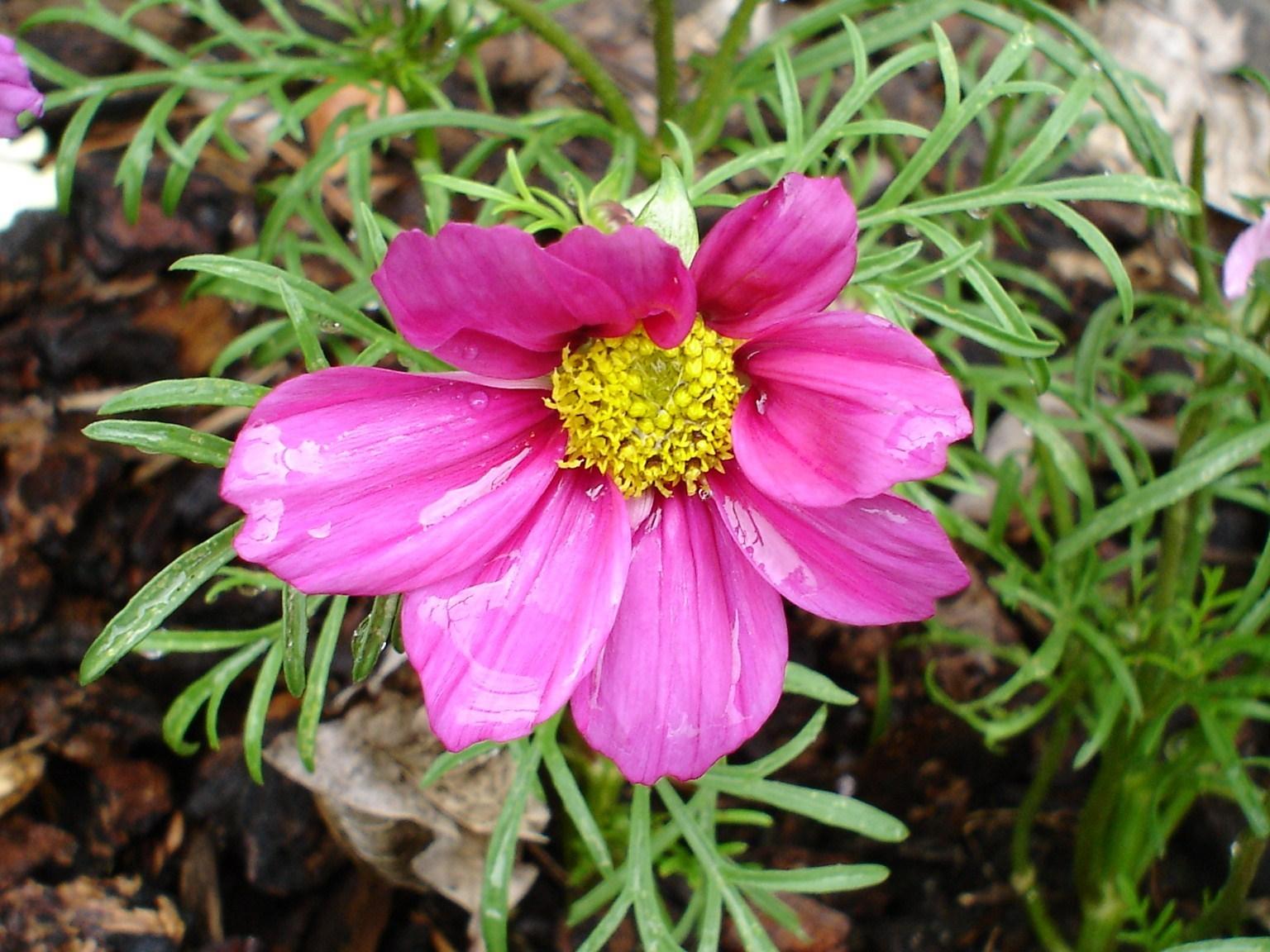 cosmo Flowers Fanpop