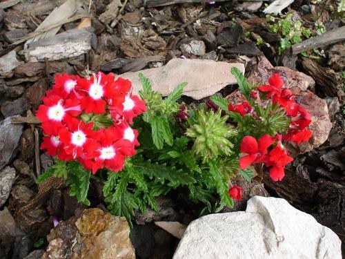 red flor