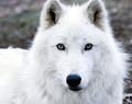 Arctic serigala