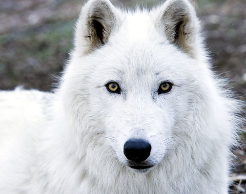 Arctic wolf wolves photo