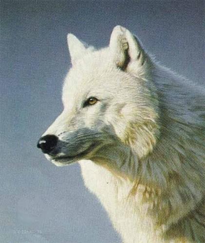 Artic 狼