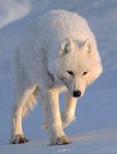 Artic wolf,searching