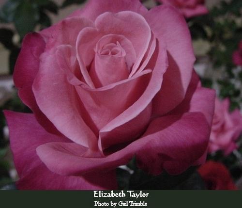 Elizabeth Taylor Rose