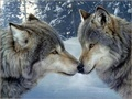 Grey Wolves - wolves photo