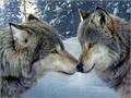 Grey serigala
