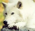 Resting,Arctic Wolf