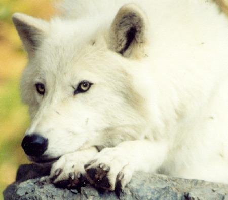 Resting,Arctic 狼