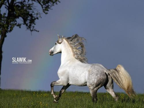 Slawik horse wallpapers - horses Wallpaper