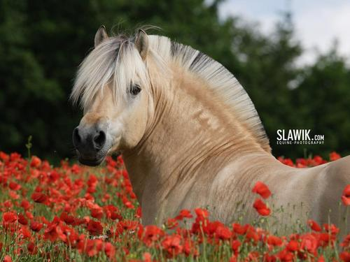 Horses wallpaper probably containing a lippizan called Slawik horse wallpapers