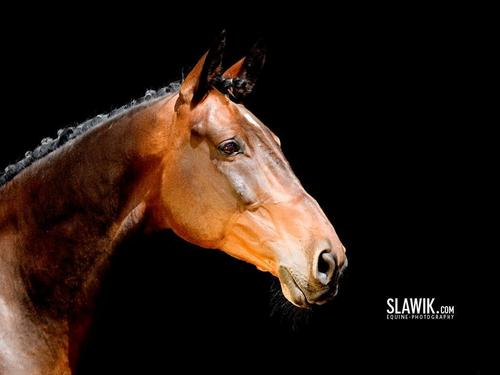 Slawik horse wallpaper