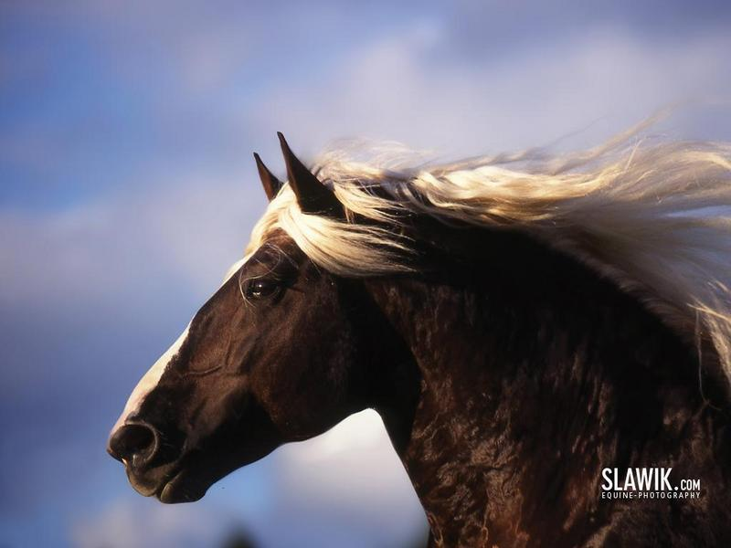 horses wallpapers. Slawik horse wallpapers