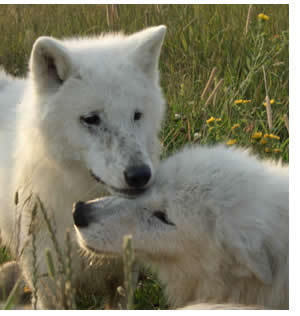 White loup Pups