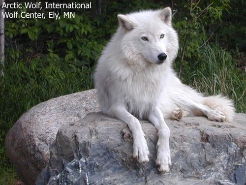 White Wolf,Watching