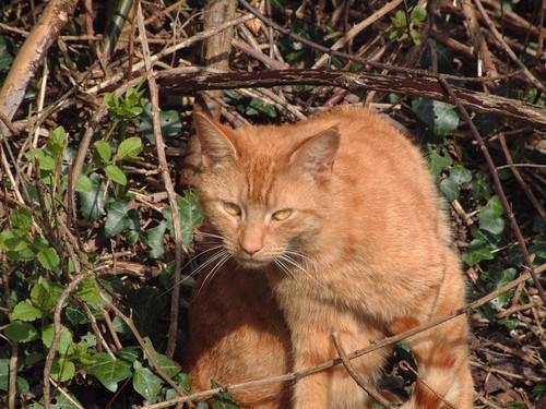 Ginger Thomasina Cat