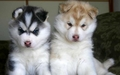 Siberian Husky Pups - wolves wallpaper