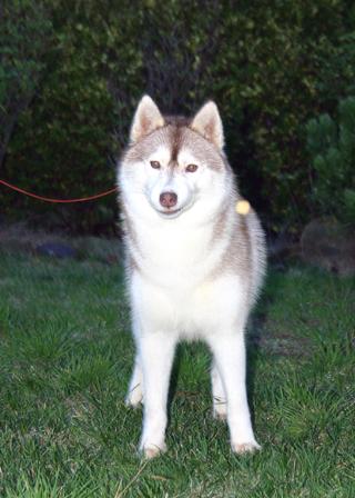 西伯利亚雪橇犬