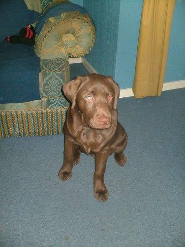 My chocolate Labrador - Koko