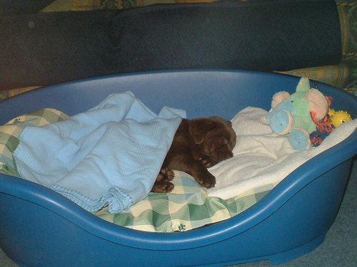 My chokoleti Labrador - Koko