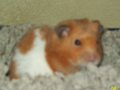 My old class teddy bear hamster, Nibbles
