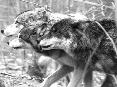 chó sói, sói Pack