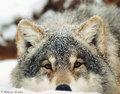 Snow serigala