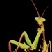 A Praying Mantis - praying-mantises icon