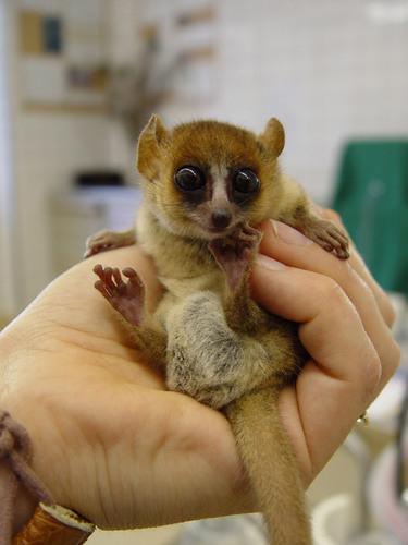A baby tetikus lemur!