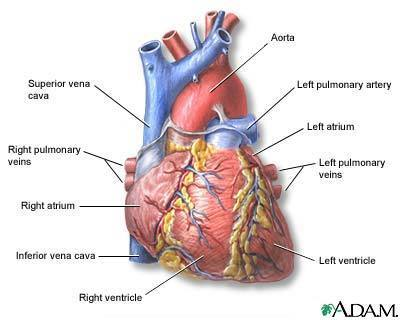 Heart - Cardiology Photo (6695812) - Fanpop