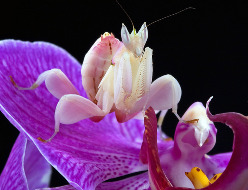 Orchid Mantis - praying-mantises Photo
