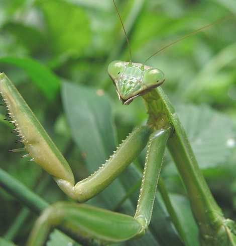 Preying Mantis - praying-mantises Photo